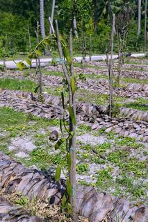 Vanilliepflanzen, Gewürzvanille (Vanilla planifolia), auf einer