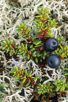 Crowberry has edible fruits