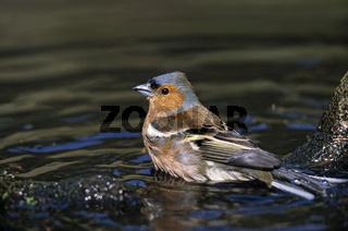Buchfink maennlicher Altvogel im Brutkleid nimmt ein Bad in einer Pfuetze / Common Chaffinch adult male in breeding plumage takes a bath in a puddle - (Chaffinch) / Fringilla coelebs