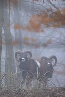 Mouflon doesnt stay long in one place