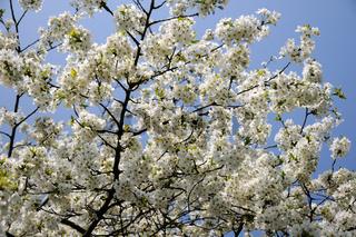 Prunus avium, Süßkirsche, Sweet cherry