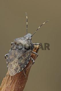 Graue Gartenwanze auf Ast (Rhaphigaster nebulosa)