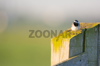 white wagtail on fence