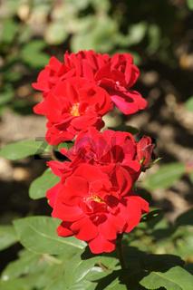 Rosa Gruߟ an Bayern, Edelrose, Hybrid-rose