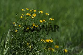 Meadow buttercup, Ranunculus acris, Scharfer Hahnenfuss