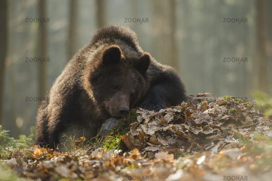 get a break... European Brown Bear *Ursus arctos*