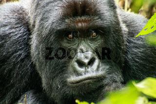 Starring Silverback Mountain gorilla in the Virunga National Park