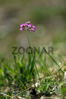 Bird's-eye primerose, Primula farinosa, Mehlprimel