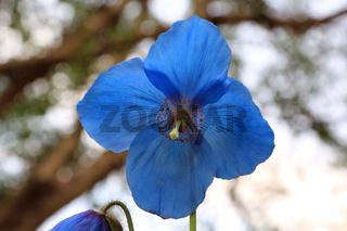 Blauer Scheinmohn, Himalayan blue poppies, Meconopsis Slieve Donard