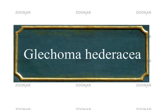 shield glechoma hederacea