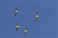 Golden Plover the nest is a shallow scrape