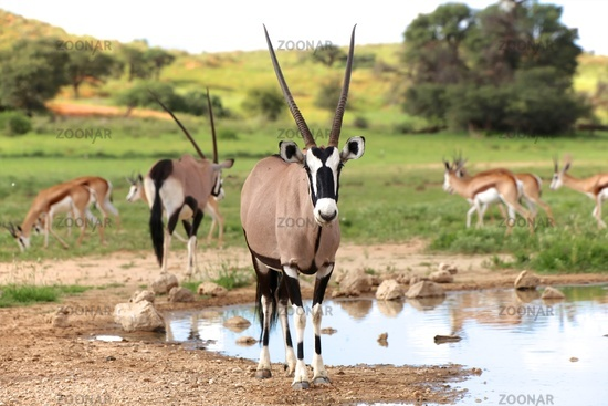 oryx near a waterhole at kgalagadi transfrontier park south africa