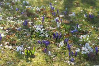 Crocus vernus, Frühlingskrokus, Spring crocus, Scilla mischtschenkoana, Mischtschenko Blausternchen