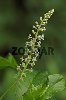 Asiatische Kermesbeere (Phytolacca esculenta)