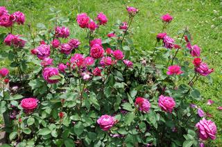 Rosa Old Port, Edelrose, Hybrid-rose