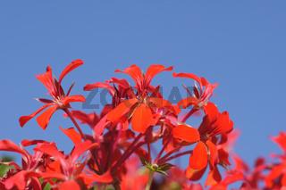 Pelargonium peltatum, Hängegeranien
