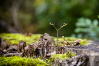 A young shoot grows on a tree stump