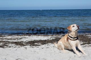 Labrador am Strand