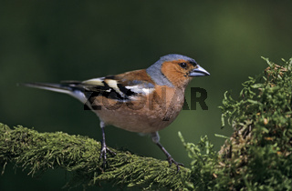 Buchfink maennlicher Altvogel im Brutkleid sitzt auf einem bemoosten Ast / Common Chaffinch adult male in breeding plumage sits on a mossy branch - (Chaffinch) / Fringilla coelebs