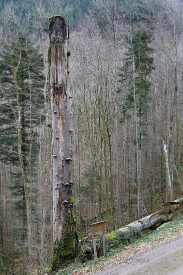 Natural monument twin beech is fallen by storm