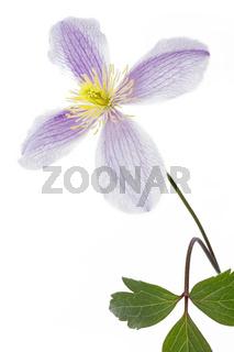 Blüte einer Clematis, freigestellt