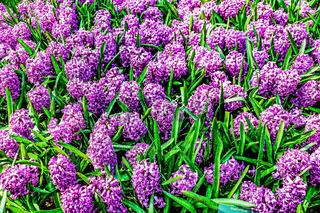 Beautiful spring flowers. hyacinths