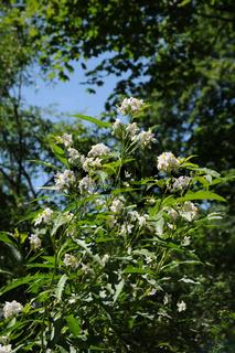 Solanum jasminoides, Jasminblütiger Nachtschatten