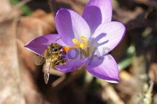 Crocus tommasinianus, Dalmatiner Krokus, Woodland crocus, mit Biene, with bee