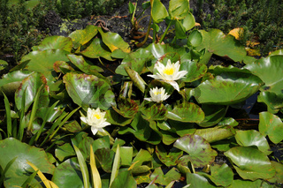 Nymphaea marliacea Chromatella, Seerose, Waterlily