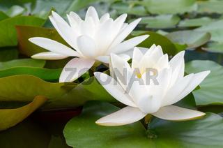 European White Waterlily