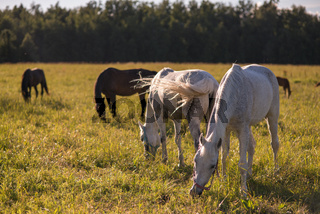 group of chestnut and white horses graze in a paddock.