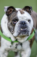 Brindle and white English Bulldog puppy male with pronounced underbite.
