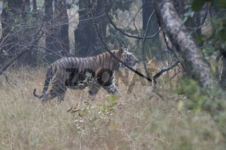 male Bengal tiger who walks in the forest on an overcast rainy day