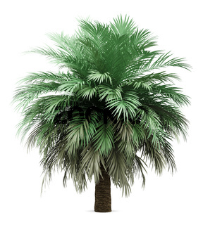 butia palm tree isolated on white background