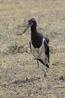 Abdims Stork that stands in the middle of the savannah in the Ngorongoro crater in the dry season