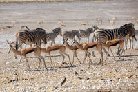 A herd of springboks drinking at a waterhole