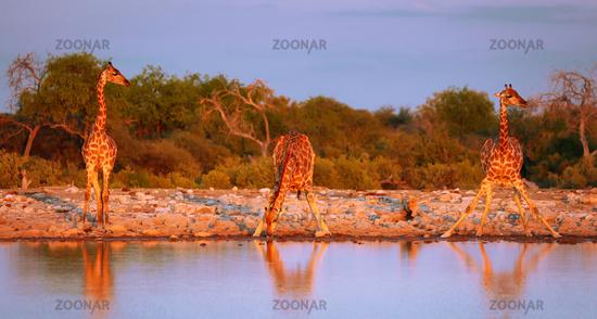 Drinking giraffes, Etosha National Park, Namibia, (Giraffa camelopardalis)