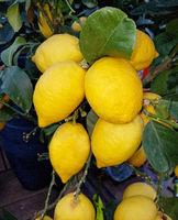 Zitronen, Citrus, limon
