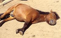 Pony lies sleeping on pasture