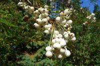 Sorbus fruticosa