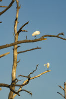 Great White Heron Birds Groom Themselves in Barren Tree