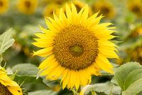 YH0A0929_SunflowerDixon.jpg
