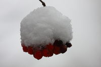 Snowball tree, fruits coverd with snow