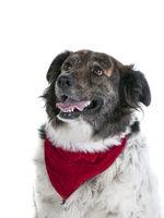 Happy Mixed Breed Dog in Holiday Christmas scarf bandana isolated on white