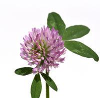 Rotklee, Trifolium, pratense