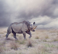 black rhinoceros walking