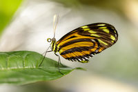 Hewitson's longwing (Heliconius hewitsoni) feeding on a flower.