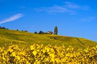 Herbstliche Weinberge im Weinbaugebiet La Côte bei Bougy-Villars