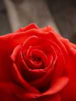 Beautiful single red rose