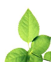 Fresh green leaves in spring